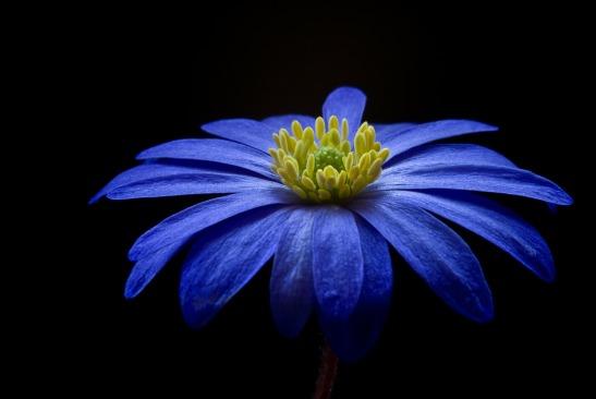 anemone-56414_1920
