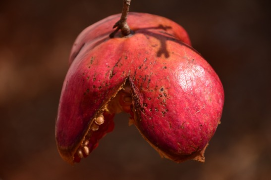 pomegranate-1752163_1920